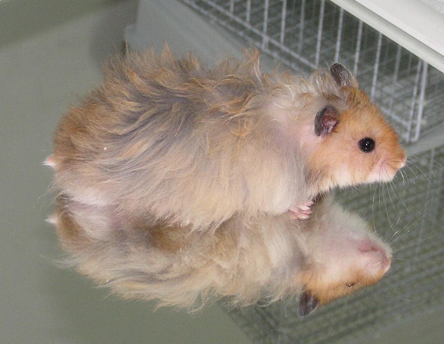 hamster-onlayn